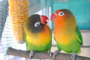 love bird
